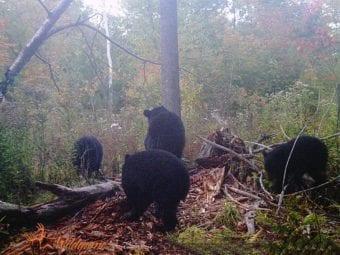 bears2-e1553823127898
